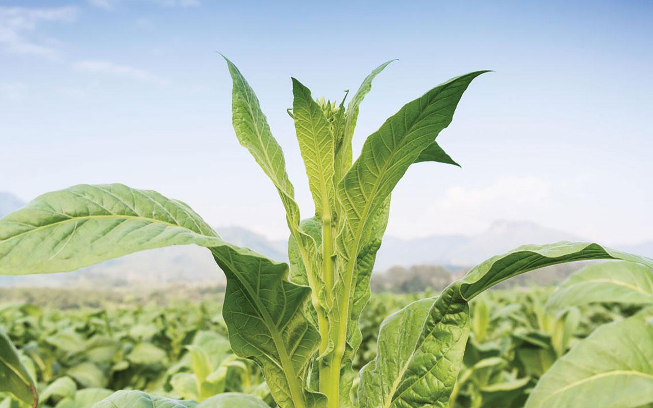 Tobacco Plant