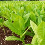 Tobacco Plantation In Indonesia