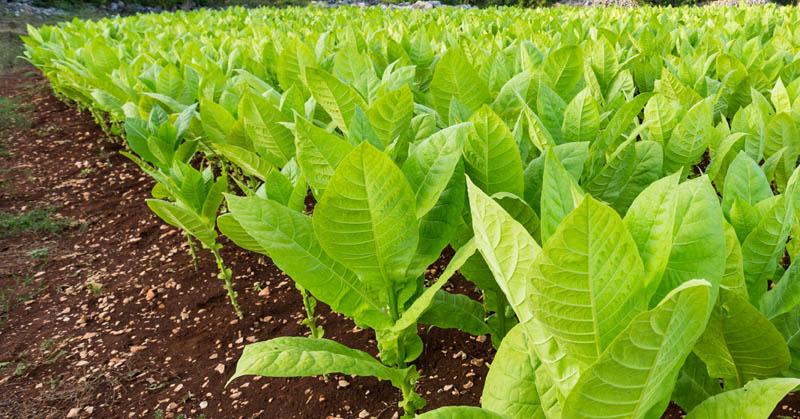 Tobacco Plantation In Indonesia
