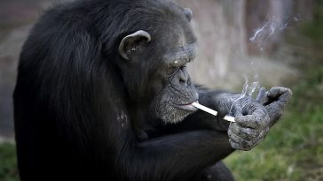 North Korea Smoking Chimp