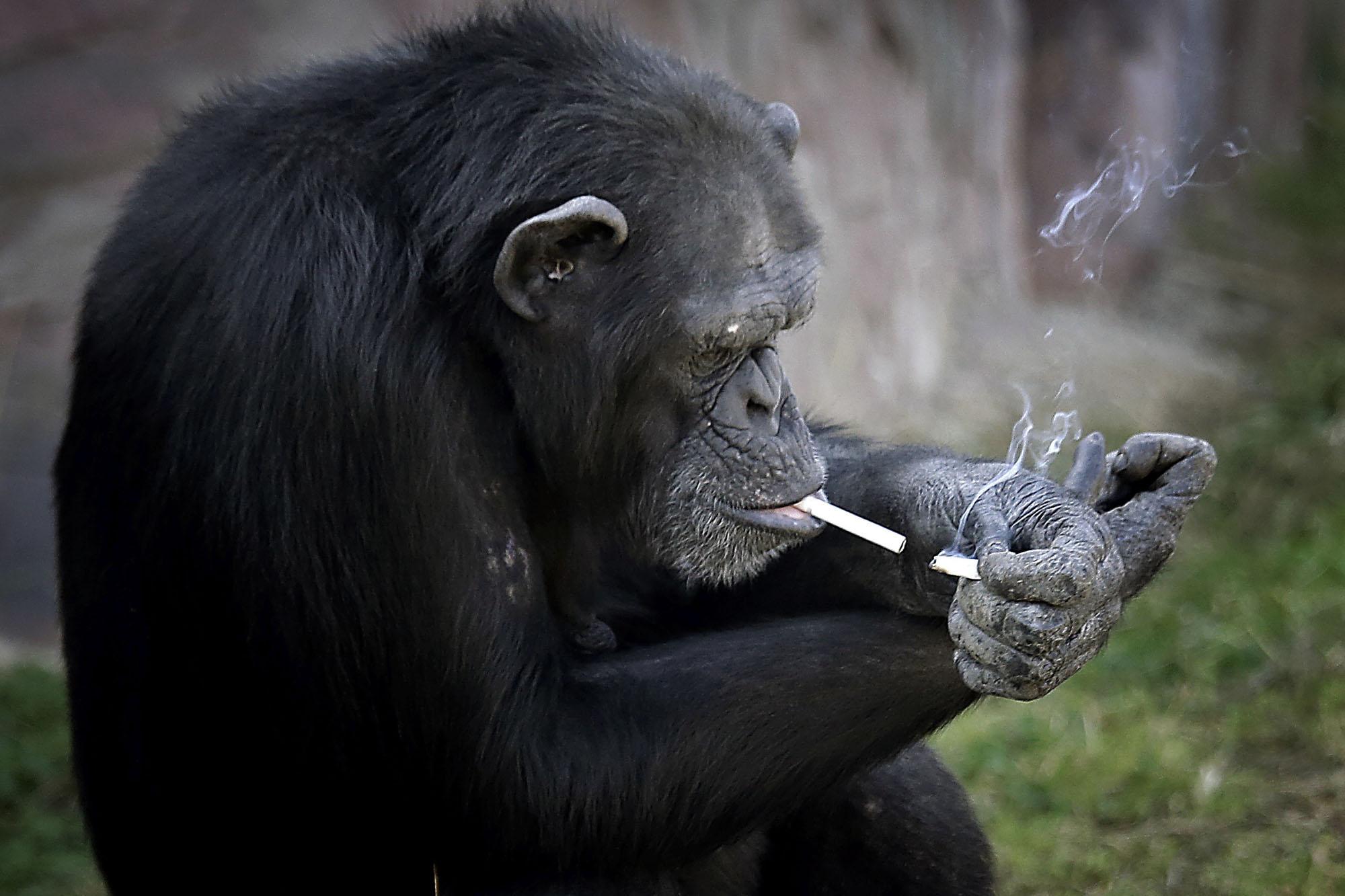 Chimpanzee Smoking