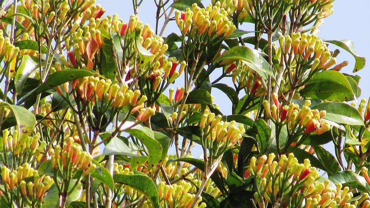 Clove Flowers